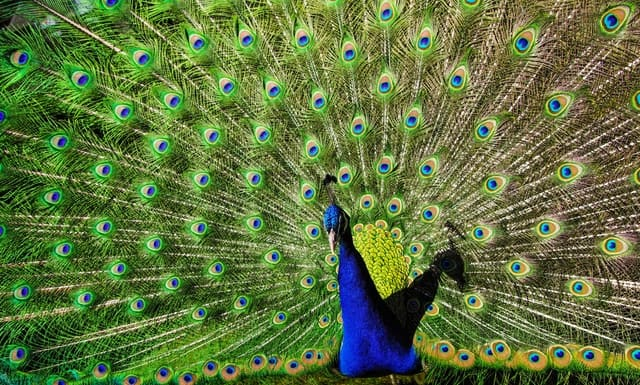 Photo by Pille Kirsi: https://www.pexels.com/photo/blue-and-green-peacock-1075821/